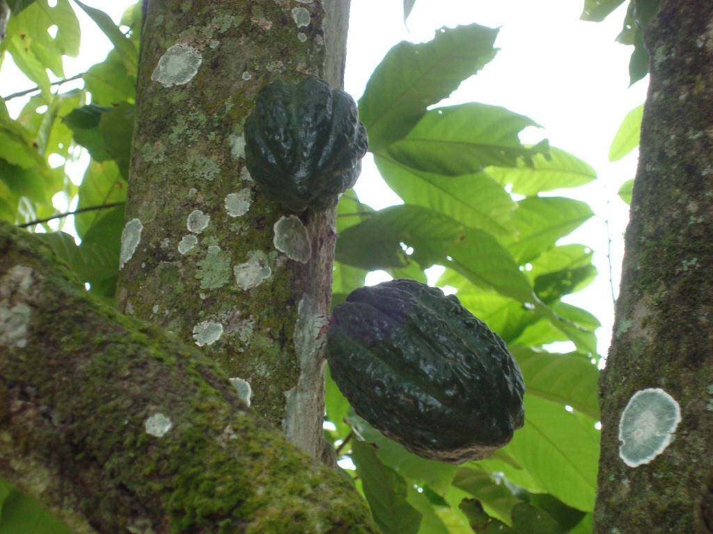 Micoza piciorului unt cacao