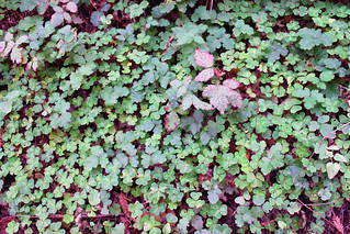 Poison oak hiding out in the oxalis | by emdot