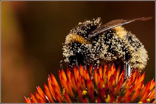 Bumble Bee covered with Pollen | by Smudge 9000