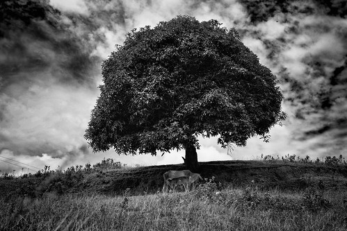 sky bw tree cow philippines cebu lonely calf canon6d