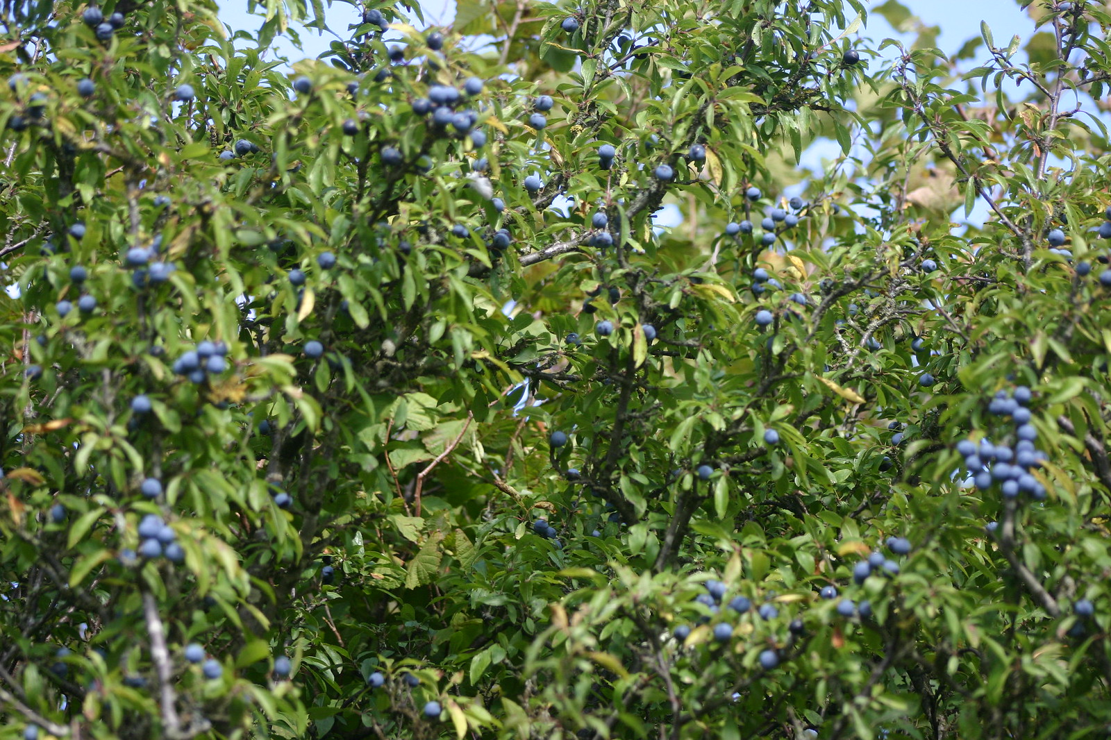 SWC 185 October 6th 2013 blue with sloes