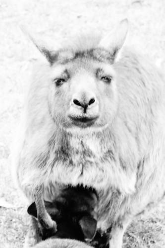 kangaroo - 袋鼠