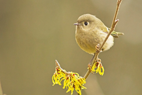 bird nature oregon witchhazel rubycrownedkinglet reguluscalendula