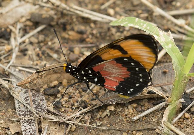 Broad Bordered Acraea, Acraea anemosa, Turk Mine, Zimbabwe