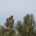 Red Tailed Hawk in a Tree, Torrey Pines State Reserve