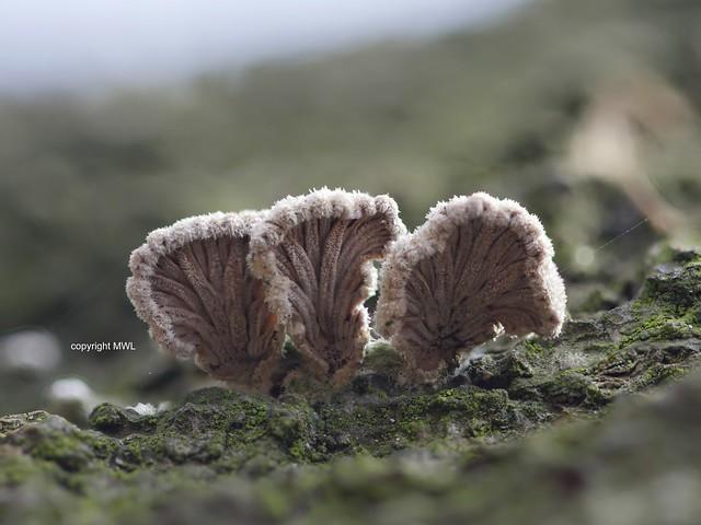 Schizophyllum commune, bottom view