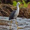 Pied Heron (Egretta picata) (immature) by Geoff Whalan