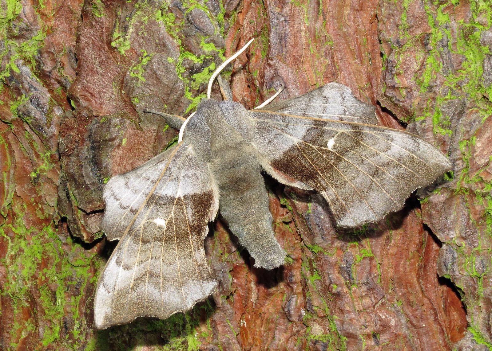 1981 Poplar Hawk-moth - Laothoe populi