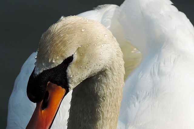 Brugelette - Mute Swan with Droplets (Explored 17 jun 2013, #156)
