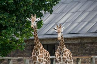 London Zoo-080613-0141   by Callum Mclaurin