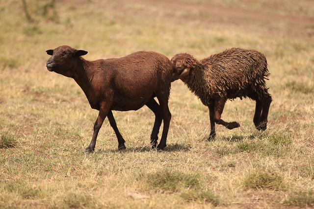 Nudge - Neighboring farmer's sheep. Maasai Mara, Kenya, 2012