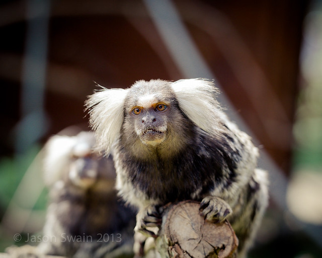 Common Marmosets at The Owl & Monkey Haven