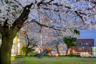 Cherry Blooming | by Chea Phal