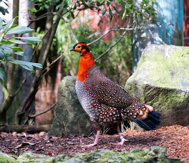 Blyth's Tragopan (Tragopan blythii) at Woodland Park Zoo (6)