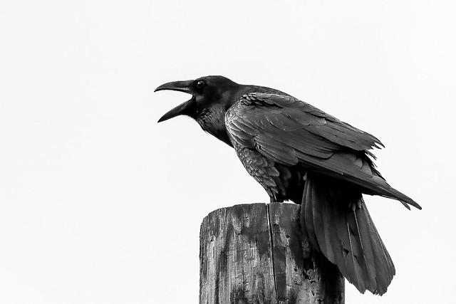 "Quoth the Raven ""Nevermore."""