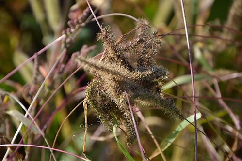 Setaria verticillata, S. viridis, S. pumila - les sétaires 33086675642_98d8039cb9