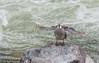 Torrent Duck, Puno by hogsas
