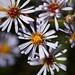 Symphyotrichum puniceum - Photo (c) Tom Potterfield, alguns direitos reservados (CC BY-NC-SA)