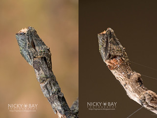 Tree Stump Orb Weaver (Cyphalonotus sp.) - DSC_6169_combined | by nickybay