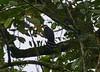 Halcón Collarejo, Collared Forest-Falcon (Micrastur semitorquatus)  by Francisco Piedrahita