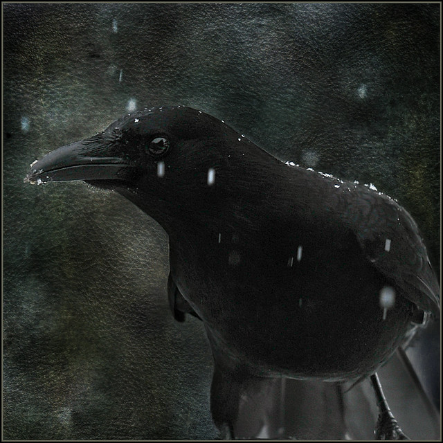 black crow & snow . . .