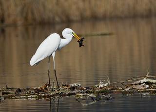 Grande Aigrette Ardea alba - Great Egret   by Le poidesans