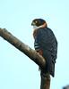 Orange-breasted Falcon/Falcão-peito-laranja/Halcón pechirrojo (Falco deiroleucus) by Héctor Bottai