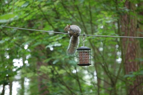 Akrobat Eichhörnchen