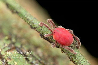 Long-Legged Velvet Mite (Erythraeidae) - DSC_3290 | by nickybay