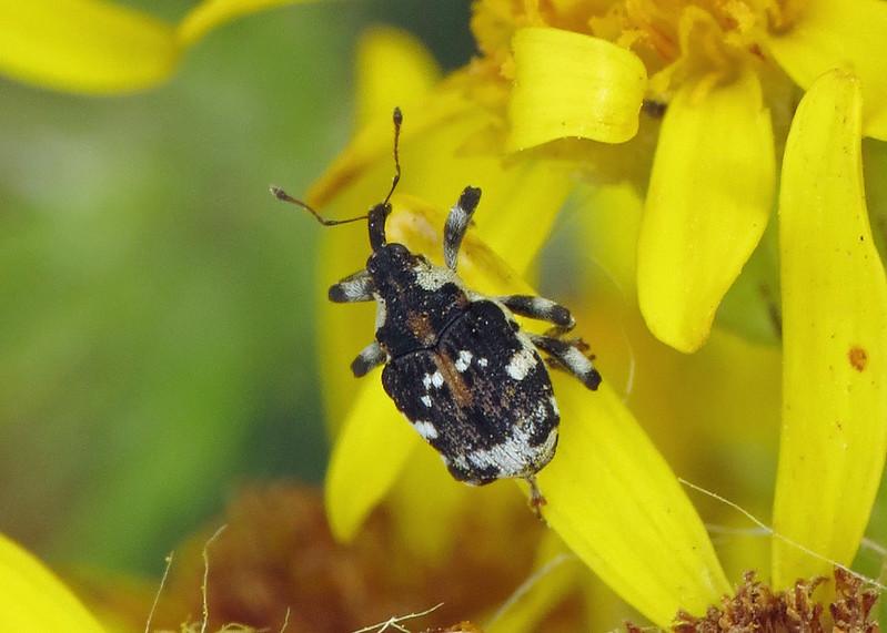Hadroplontus trimaculatus