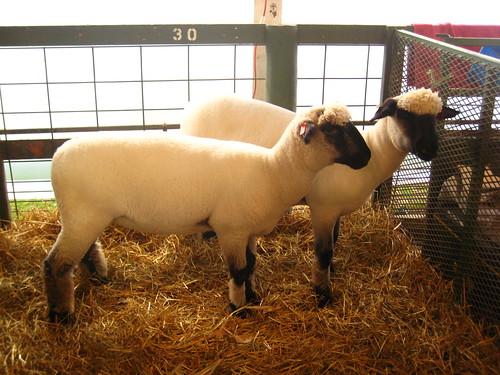 Shropshire sheep | by amndw2