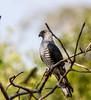 African Cuckoo-Hawk by Nydiaso.