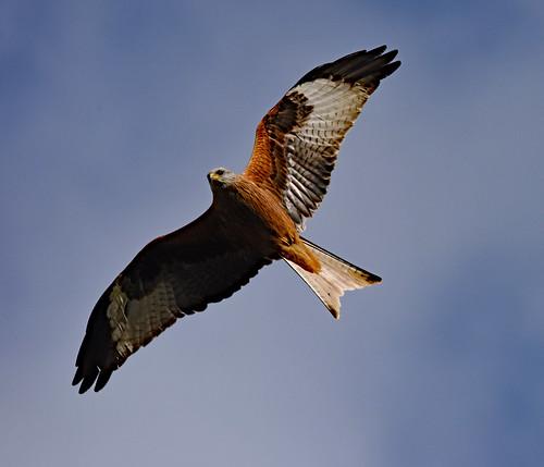 the beautiful red kite