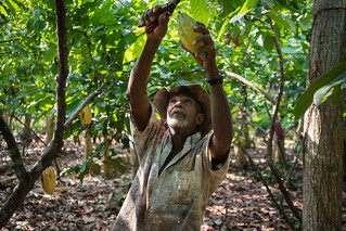 Jose cuts cacao pods from the tree | by USAID_IMAGES