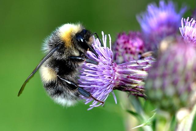 Ljus jordhumla / White Tailed Bumblebee (Bombus lucorum) hane