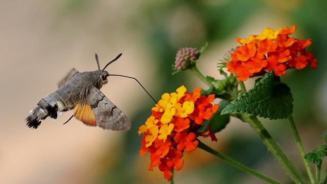 Hummingbird Hawkmoth.  Macroglossum stellatarum