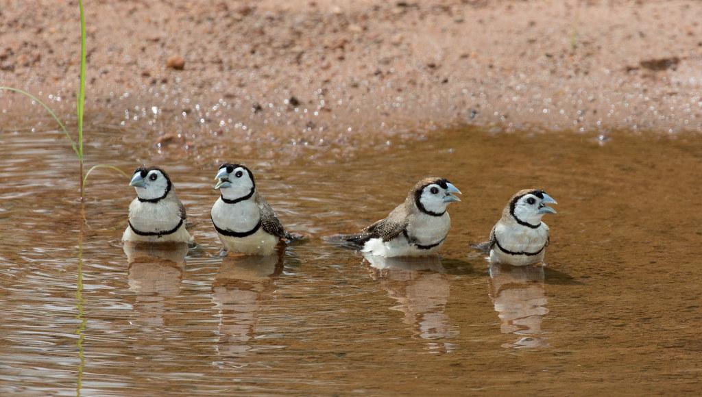 And then there were four - Double Barred Finches (Taeniopygia bichenovii) (10.5 cm)