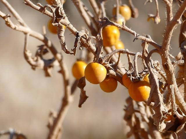 Silverleaf Bitter Apple (Solanum elaeagnifolium) fruits