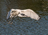 In flight -The Black Faced Spoonbill (Platalea minor). by Okinawa Nature Photography