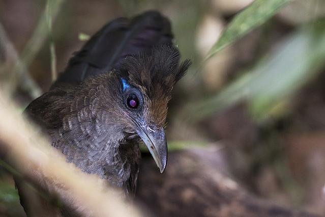 Panama: Rufous-vented Ground-Cuckoo