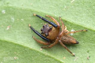 Jumping spider (Pancorius sp.) - DSC_1043