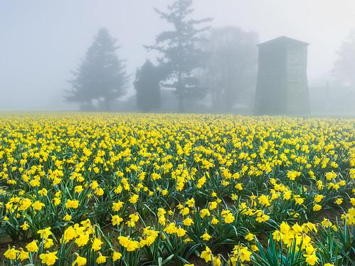 daffodils, grain tower, fog, early morning, fur trees