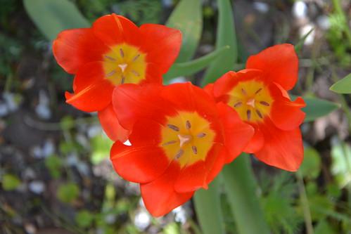 Tulipa - espèces et petits hybrides (sections 12 à 15) 33012865286_a9eaebd40a
