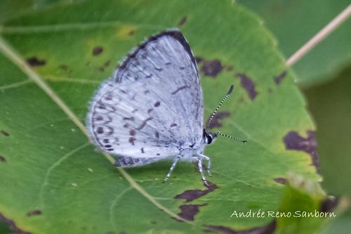 Summer Azure (Celestrina neglecta)