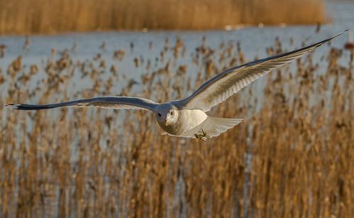 gull bird nature