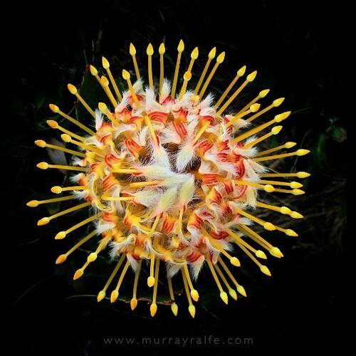 Pincushion Protea near my house. #photography #iphonephotography #protea #southafica #flower #fynbos #murrayralfe