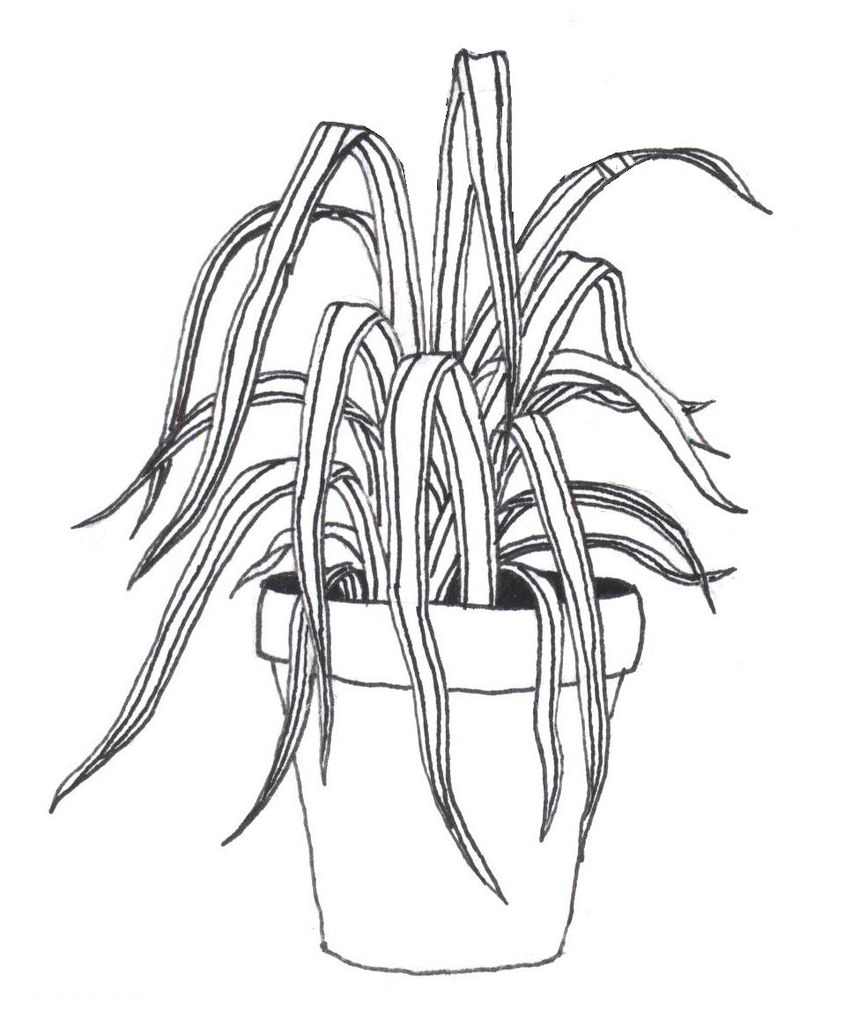 Spider Plant A Rough Sketch For A Tattoo I Just Got Pict Flickr