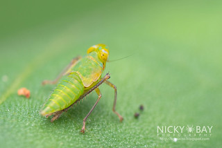 Leafhopper nymph (Coelidiinae) - DSC_9135