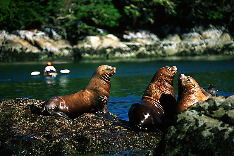 Wildlife in British Columbia, Canada: Sea Lion