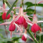 Fuchsia  フクシア